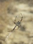 Amathus Spider
