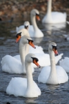 Mute Swan Parade