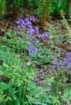 Bluebells in Borough Woods, Devon