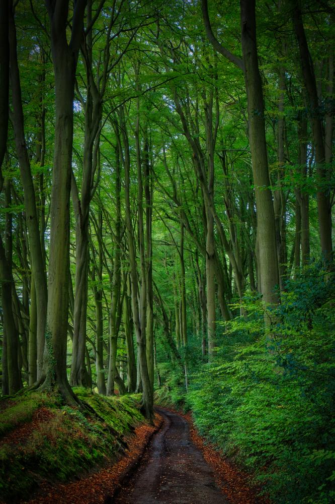 Stinchcombe Beech Wood