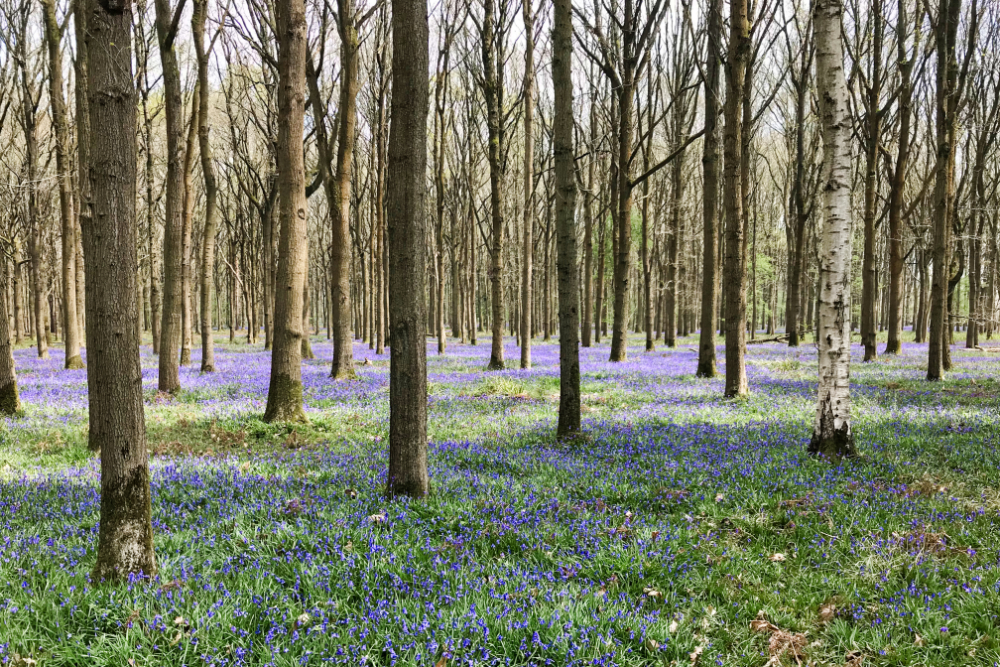 Bluebell Wood Gloucestershire