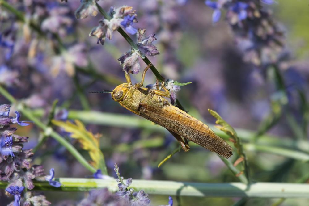 Grasshopper (France)